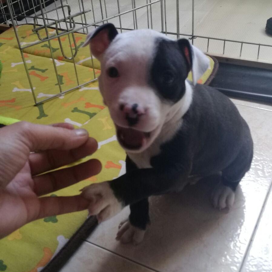 cachorro de 2 meses dando la pata